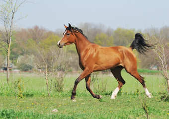 beautiful arabian horse running trot on pasture