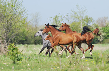 herd of arabian horses running on pasture