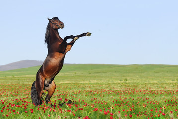 beutiful brown horse rearing on pasture
