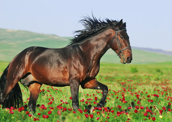 portrait of beautiful arabian horse in motion