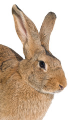 brown rabbit isolated