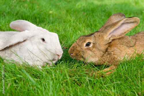 light brown and white rabbits bunny on green grassy plot