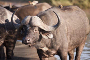 Buffalo in Sabi Sands Game Reserve