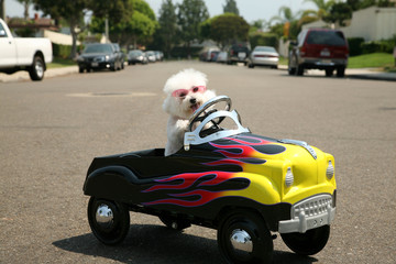 Fifi the Bichon Frise takes a ride in her hot rod