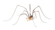 Harvestman isolted on white background. - 24921106