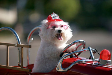fifi the bichon frise as a Fire Dog mascot