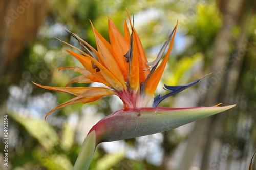 Paradiesvogelblume Strelitzia reginae