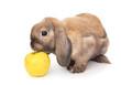 Dwarf rabbit sniffs the yellow apple.