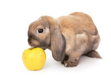 Dwarf rabbit sniffs the yellow apple. poster