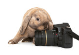 Dwarf rabbit with a digital SLR camera.