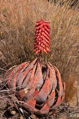 Aloe peglerae palnt