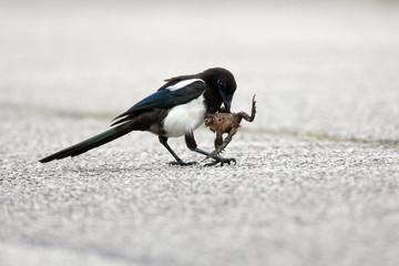 pie oiseau carnivore grenouille animaux écraser manger nourrir