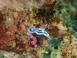 Nudibranch (Chromodoris elizabethina)