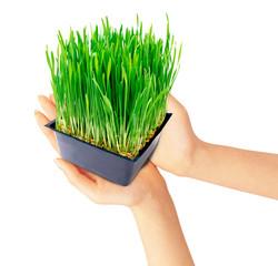 mani piante grano ecologia