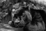Fototapeta zwierzę - kot - Lwy / Tygrysy / Dzikie koty