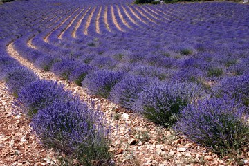Big lavender field in France