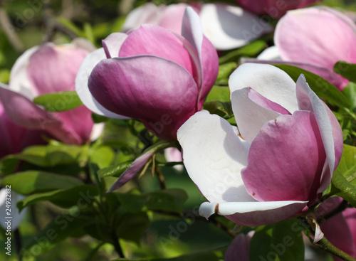 Mulan magnolia Poster