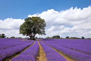 Beautiful lavender field in the summer