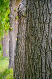 Fototapety Pappelallee, Baumreihe