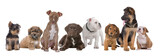 Fototapety large group of puppies