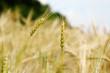 Ear of wheat closeup