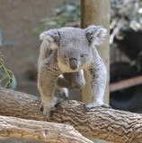 Small Koala on Tree Branch