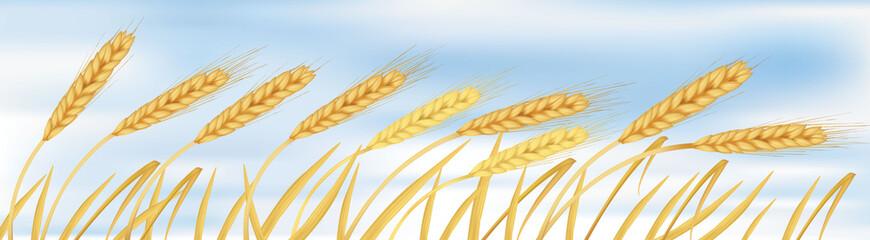 The ears of wheat. Vector.