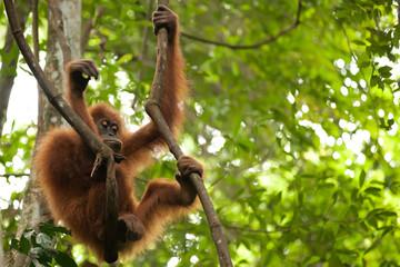 young orangutan in jungle