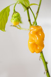 Chili Scotch Bonnet gelb