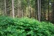 conifere alberi 1122