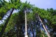 conifere alberi 1123
