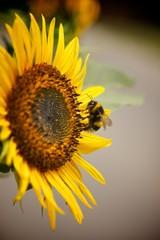 Biene sammelt Blütenstaub Sonnenblume