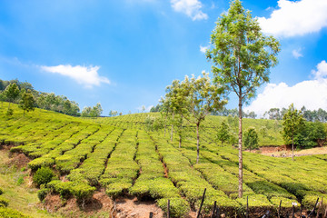Tea Plantation in the Cardamam mountains, India