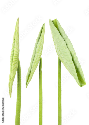 lotus leaf tip