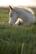 beautiful white foal resting on the grass