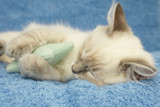 kitten sleeping with toy