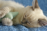 kitten asleep with toy
