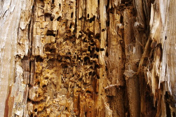 Holz Wurm
