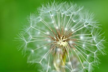 たんぽぽ Dandelion