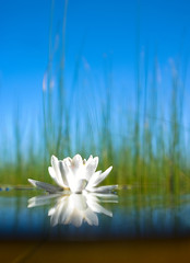 how   the water-lily grow