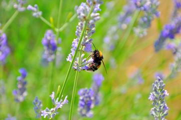 Bombus pratorum (Hummel, Bumblebee)