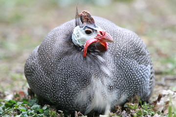 Guineafowl Resting
