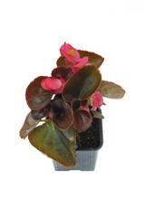 plant de bégonia