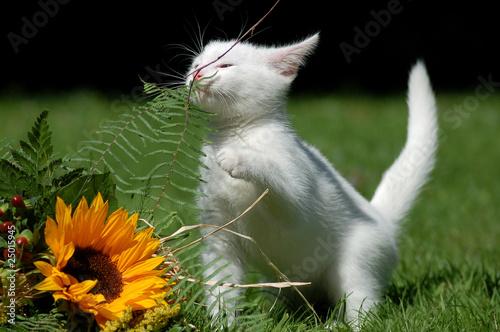 Katze mit Sonnenblume