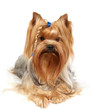 Yorkshire Terrier with braid