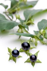 Tollkirsche (Atropa belladonna) - Beeren vor Ast mit Blättern