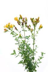 Johanniskraut (Hypericum perforatum) Pflanze mit Blüten vor weiß