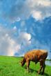 calf pasturing