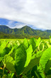 Bright leaves of the taro fields in Hanalei Kauai