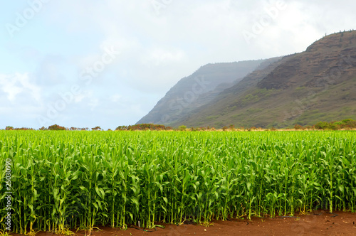 Corn field in Kauai